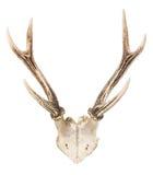 Troféu dos cervos Fotografia de Stock