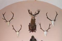 Trofee van deers Royalty-vrije Stock Foto's