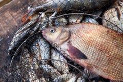 Trofee visserij Grote zoetwater gemeenschappelijke brasemvissen op schepnet stock foto