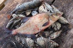 Trofee visserij Grote zoetwater gemeenschappelijke brasemvissen op schepnet royalty-vrije stock foto