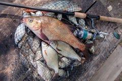 Trofee visserij Grote zoetwater witte bronsbrasem of karperbrasem, royalty-vrije stock afbeeldingen