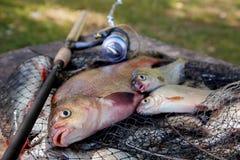 Trofee visserij Grote zoetwater witte bronsbrasem of karperbrasem, stock foto's