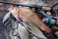 Trofee visserij Grote zoetwaterbronsbrasem of karperbrasem, witte brasem of zilveren brasem en hengel met spoel op schepnet royalty-vrije stock foto's
