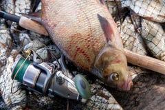 Trofee visserij Sluit omhoog mening van grote zoetwater gemeenschappelijke brasem fis royalty-vrije stock afbeeldingen