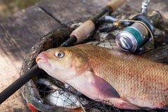 Trofee visserij Sluit omhoog mening van grote zoetwater gemeenschappelijke brasemvissen en hengel met spoel op schepnet royalty-vrije stock fotografie