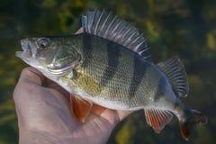 Trofeo cogido de los pescados de la perca a disposición del pescador por encima de la superficie Fondo de la pesca imágenes de archivo libres de regalías