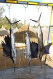 Trofeo d'attaccatura di pesca della macaira della cattura del pesce vela del Pacifico Immagini Stock