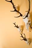 Trofeo de los cuernos de los ciervos en la pared Imágenes de archivo libres de regalías