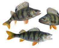 Trofeo de los pescados de la perca aislado en el fondo blanco Fluviatilis del Perca Fotos de archivo