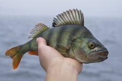 Trofeo de los pescados de la perca a disposici?n del pescador imagenes de archivo