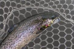 Trofeo de los pescados de la trucha en la red de aterrizaje de goma Foto de archivo libre de regalías