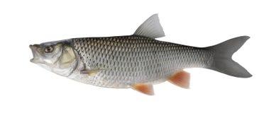 Trofeo del pesce del cavedano isolato su fondo bianco fotografia stock libera da diritti