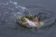Trofeo del pesce del luccio in acqua con la spruzzatura fotografie stock libere da diritti