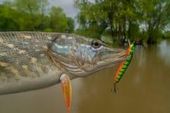 Trofeo del pesce del luccio con richiamo di pesca in mandibola fotografia stock
