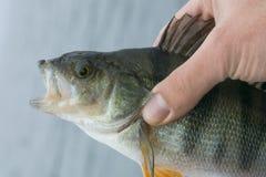 Trofeo del pesce del pesce persico a disposizione del pescatore fotografia stock libera da diritti