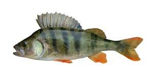 Trofeo del pesce del pesce persico isolato su fondo bianco fotografia stock libera da diritti