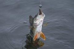 Trofeo del pesce del pesce persico preso in acqua Fondo di pesca immagini stock
