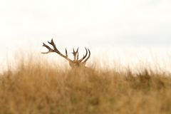 Trofeo grande de los ciervos comunes Fotografía de archivo