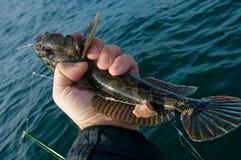 Trofeo marino di pesca marittima del ghiozzo Immagine Stock Libera da Diritti
