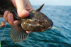 Trofeo marino di pesca marittima del ghiozzo Fotografia Stock Libera da Diritti