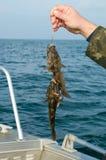 Trofeo marino di pesca marittima del ghiozzo Fotografia Stock