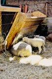 Trog met sheeps royalty-vrije stock foto's