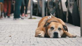 Trogen bedrövlig hund som ligger på trottoaren och den väntande ägaren Benen av likgiltigt folk för folkmassan förbigår lager videofilmer