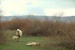 Trogen fårhund Arkivbilder
