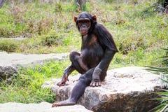 Troglodytes лотка - обезьяна стоковое изображение