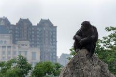 Troglodytes de Regard-Chimpanzé-casserole Photographie stock