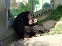 Troglodytes лотка шимпанзе, также общий шимпанзе, крепкий шимпанзе, шимпанзе или Der Schimpanse, зоопарк Abenteurland Вальтер стоковое изображение rf