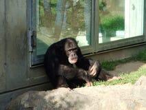 Troglodytes лотка шимпанзе, также общий шимпанзе, крепкий шимпанзе, шимпанзе или Der Schimpanse, зоопарк Abenteurland Вальтер стоковые фотографии rf