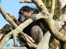 Troglodytes лотка шимпанзе, также общий шимпанзе, крепкий шимпанзе, шимпанзе или Der Schimpanse, зоопарк Abenteurland Вальтер стоковые изображения rf