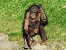 Troglodytes лотка шимпанзе, также общий шимпанзе, крепкий шимпанзе, шимпанзе или Der Schimpanse, зоопарк Abenteurland Вальтер стоковое фото