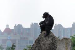 Troglodytes solitaires d'une chef-Chimpanzé-casserole Photographie stock libre de droits