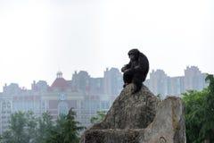 Troglodytes solitaires d'une chef-Chimpanzé-casserole Photos libres de droits