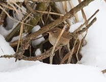 Troglodytes (wren) on a dry branch in winter. Stock Photo