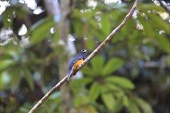 Амазонское бело-замкнутое trogon в эквадоре, Южной Америке стоковые фото