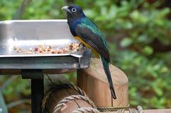 Trogon con testa nera all'alimentatore dell'uccello Immagine Stock Libera da Diritti