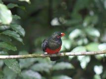 Trogon Pizarroso-atado varón en el bosque de Arenal Fotos de archivo libres de regalías