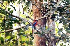 Trogon à tête rouge Image libre de droits