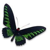 Trogonoptera trojana butterfly Stock Photos