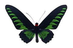 Trogonoptera trojana butterfly Royalty Free Stock Photography