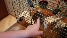 Trohaye hand mouse in a cage stock video footage