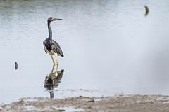 Troicolored Egretta Heron looking back standing on water coast. Troicolored Egretta Heron looking to the the observer with her right eye, standing on the water royalty free stock photos