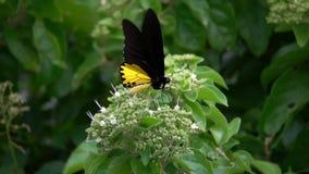 Troides birdwing comuni Helena della farfalla che raccoglie nettare dai fiori video d archivio