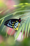Troides helena Butterfly royalty free stock photos