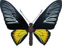 troides radamantus Стоковые Фотографии RF