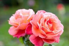 Troika de Rose Bush Hybrid Tea Rose Fotografía de archivo