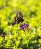 Troilus de Papilio, o swallowtail do spicebush fotografia de stock royalty free